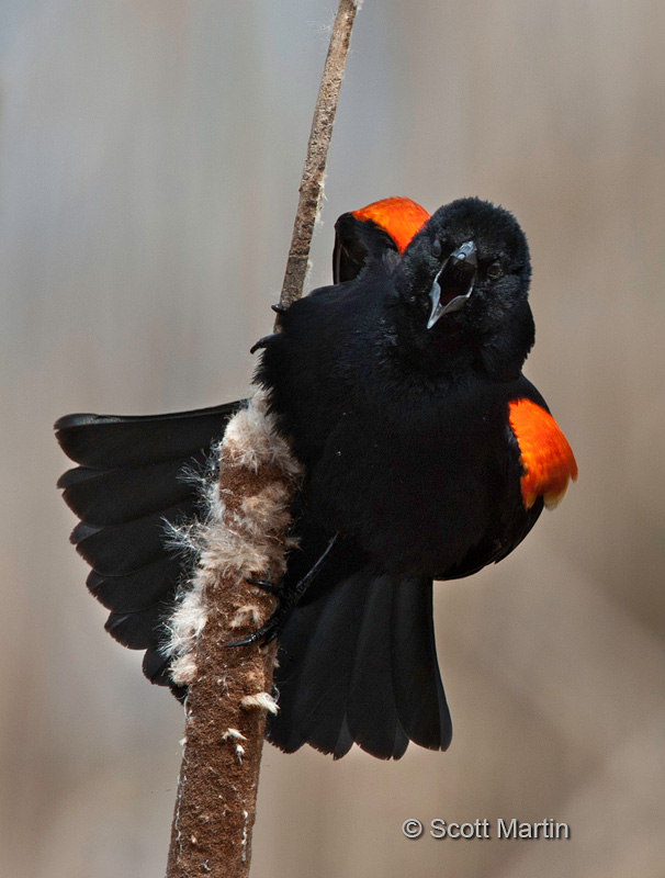 Red Winged Blackbird 14