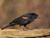 Red Winged Blackbird 13
