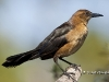 Boat Tailed Grackle 01