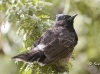 Red Vented Bulbul 02