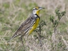 Eastern Meadowlark 03