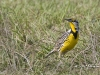 Eastern Meadowlark 04