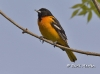 Baltimore Oriole 04