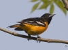 Baltimore Oriole 05