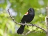 Red Winged Blackbird 02