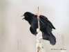 Red Winged Blackbird 05