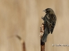 Red Winged Blackbird 09