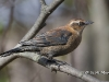Rusty Blackbird 01