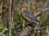 Rusty Blackbird 02
