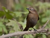 Rusty Blackbird 03