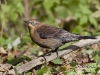 Rusty Blackbird 04