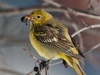 Western Tanager 04