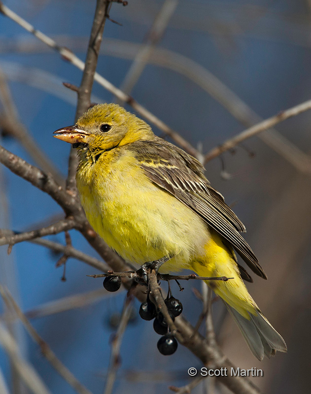 Western Tanager 01