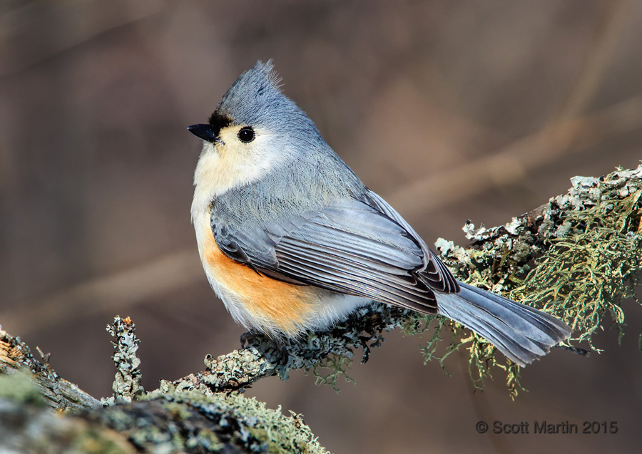 Tufted Titmouse 02.jpg