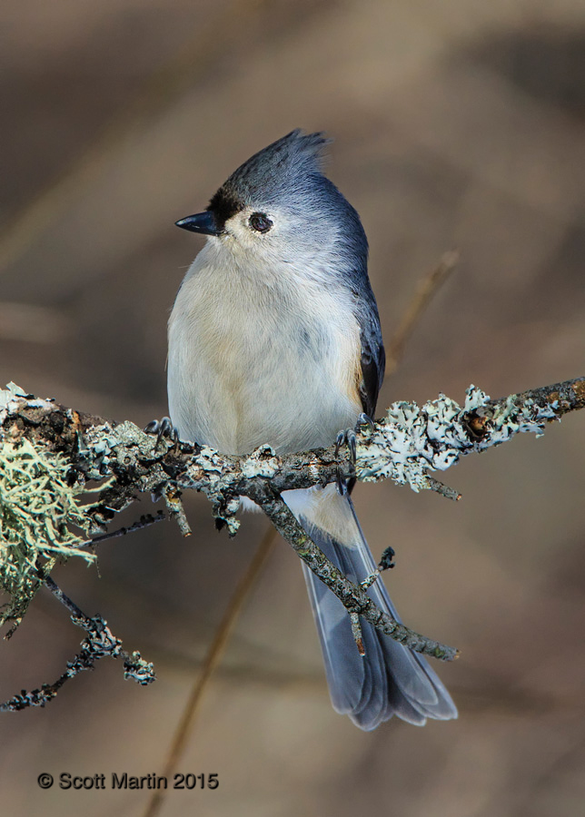 Tufted Titmouse 03