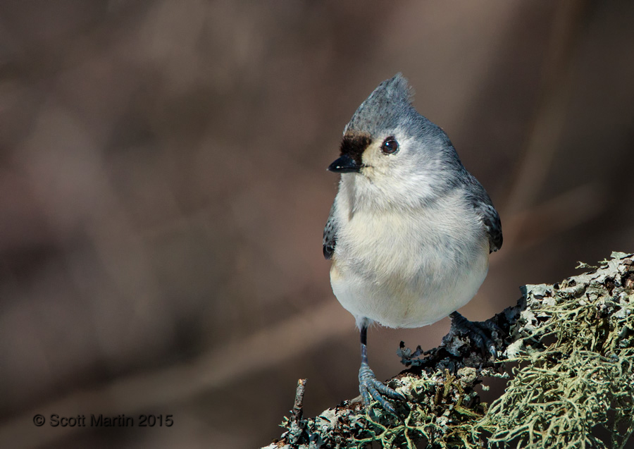 Tufted Titmouse 07