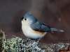 Tufted Titmouse 09