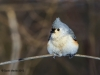 Tufted Titmouse 04