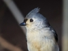 Tufted Titmouse 05