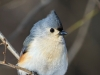 Tufted Titmouse 06