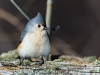 Tufted Titmouse 08