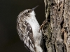brown-creeper-02