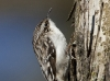 brown-creeper-03