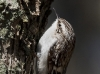 brown-creeper-04