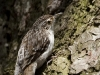 brown-creeper-05