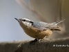 Nuthatch-rb 01