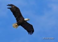 Bald Eagle's from Joe Overstreet Road in Central Florida
