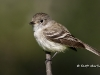 least-flycatcher-02
