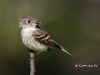 least-flycatcher-03