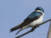 tree-swallow-01