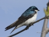 tree-swallow-02