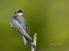 tree-swallow-03
