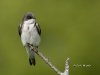 tree-swallow-06