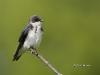 tree-swallow-07