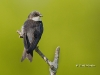 tree-swallow-08