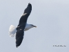 Great Black Backed Gull 02