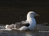 Great Black Backed Gull 05