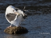 Great Black Backed Gull 06