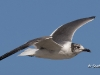 Laughing Gull 02