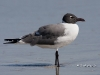 Laughing Gull 03