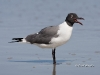 Laughing Gull 04