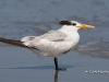 Royal Tern 01