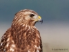 Red Shouldered Hawk 01
