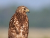 Red Shouldered Hawk 03