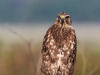 Red Shouldered Hawk 04