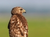 Red Shouldered Hawk 06
